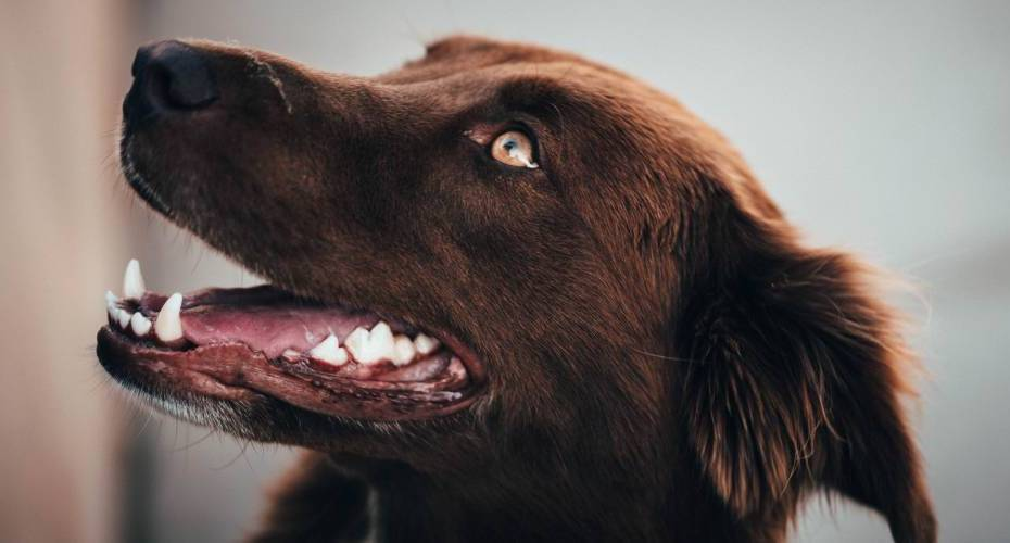 A side profile of a brown dog showing off their pearly white teeth