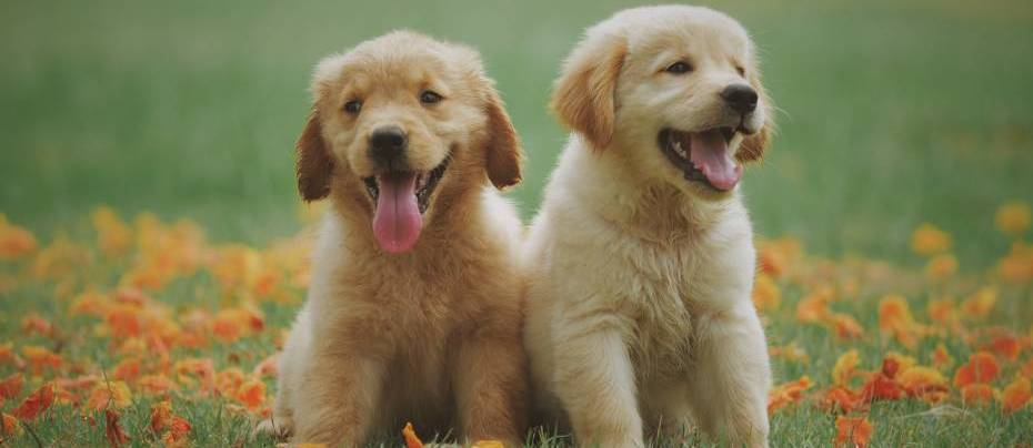 Two yellow Labrador puppies are sitting on green grass with some small yellow flowers around them